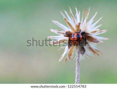 small beetle on wild grass flower - stock photo
