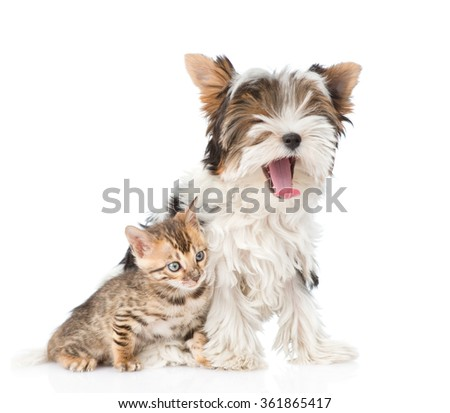 Small bengal cat and yawning Biewer-Yorkshire terrier puppy sitting together. isolated on white backgroun - stock photo