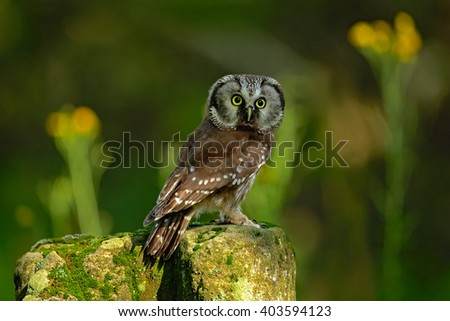 Small bird Boreal owl, Aegolius funereus, sitting on larch stone with clear green forest background and yellow flowers, animal in the nature habitat, Germany - stock photo