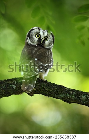 Small bird Boreal owl, Aegolius funereus, sitting on the tree branch in green forest background  - stock photo