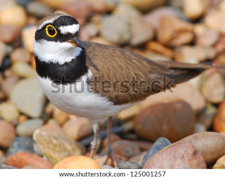 small bird Little Ringed Plover family Charadriiformes is among the stones, close-up - stock photo