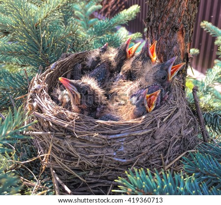 Small birds in the nest, baby birds in nest, chicks in nest, birds with opened beaks, hidden nest with chicks in forest, bird nest picture, hungry birds in nest, blind baby birds, hungry baby animal - stock photo
