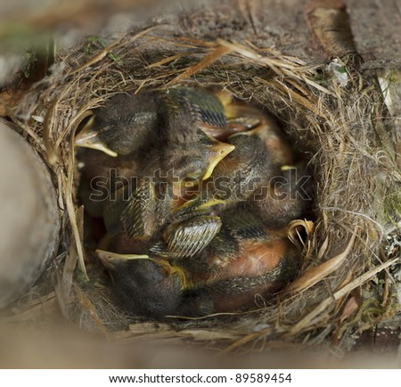Small birds in the nest. High angle shot. - stock photo