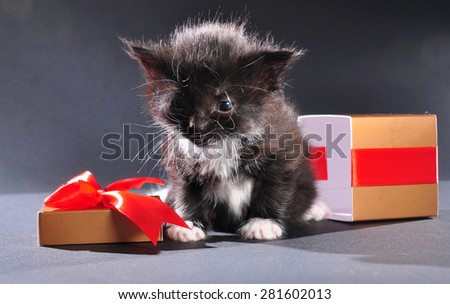 Small black and white kitten with white fluffy whiskers just came out of present box. Isolated on dark background. Studio shot. - stock photo