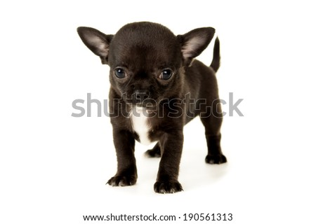small black chihuahua puppy standing - stock photo