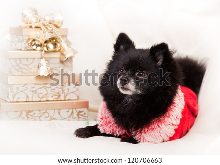 small black pomeranian on a white background with golden gifts - stock photo