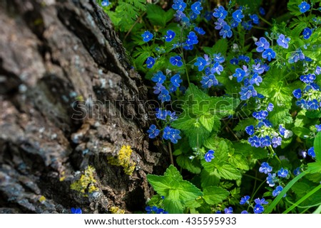 Small blue blooming flowers near the tree in the forest;  floral, nature background  - stock photo