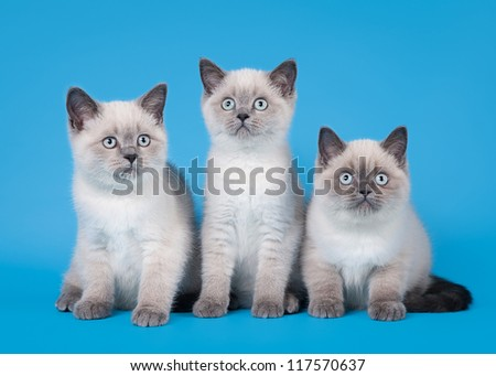small blue color point british kitten on light blue background - stock photo