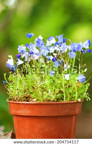 small blue flowers in the pot - stock photo