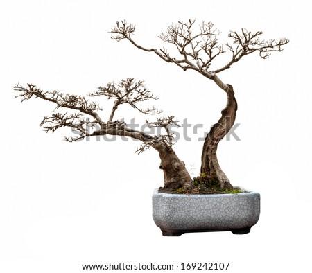 Small bonsai tree in a ceramic pot. - stock photo