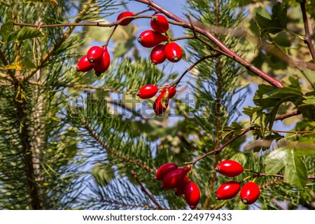 Small branch with red fruits of hawthorn - stock photo