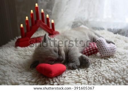 Small British kitten sleep - stock photo