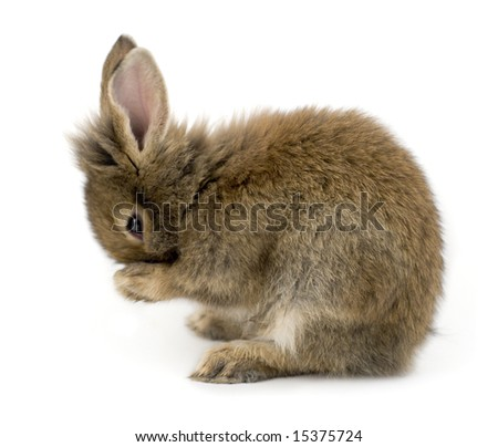 Small brown rabbit isolated on white washing itself - stock photo