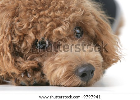 Small brown toy poodle with a black shirt and grey collar lying down - stock photo