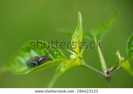 small bug on chili pepper plant - stock photo