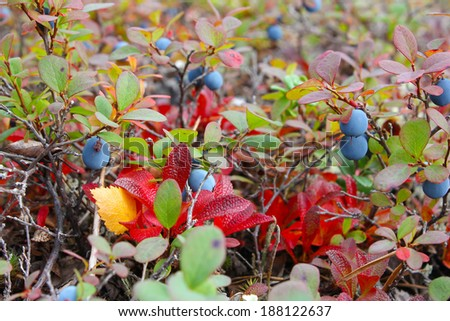 small bush of ripe bog bilberry in the forest, closeup, Russia, Hibiny mountain - stock photo