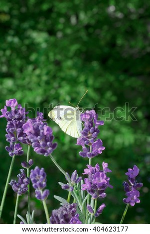 Small Cabbage White butterfly feeding on lavender flowers, dark green foliage background, copy space, copyspace - stock photo