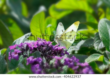 Small Cabbage White butterfly sitting in midday sun on a heliotrope plant and feeding on its purple flowers, green background, copy space - stock photo