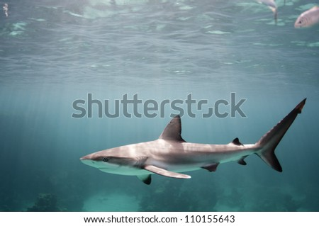 Small Caribbean reef shark - stock photo