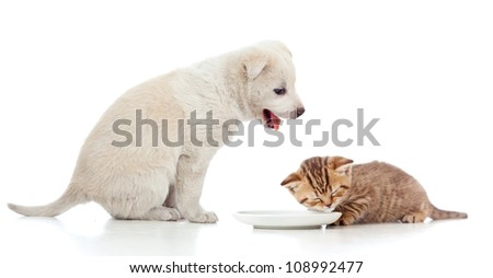 Small cat kitten lap milk from bowl. Funny puppy looking at him. - stock photo