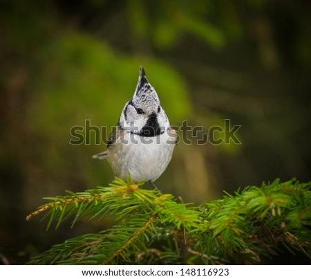 small chickadee bird sitting on green branch - stock photo