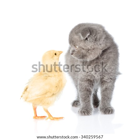 Small chicken and kitten looking into each other's eyes. isolated on white background - stock photo