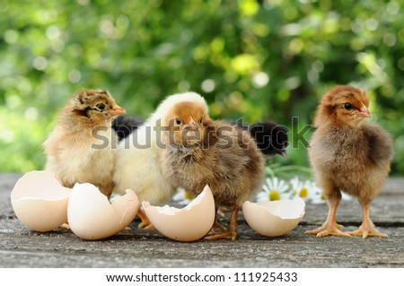 Small chicks and egg shells - stock photo