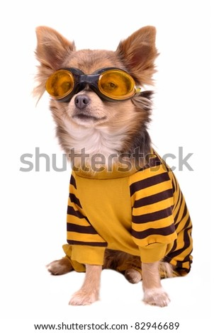 Small chihuahua dog wearing suit and goggles isolated on white background - stock photo