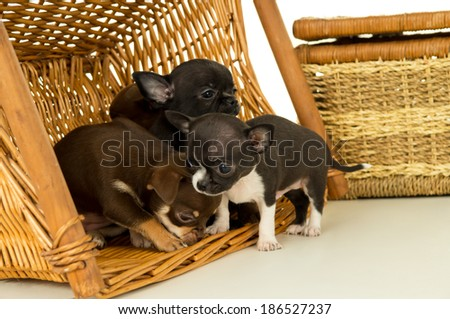 Small chihuahua puppies play - stock photo