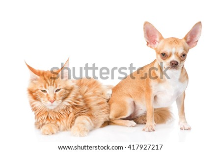Small chihuahua puppy and maine coon cat together. isolated on white background - stock photo