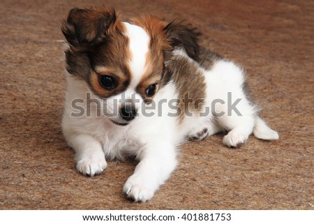 small chihuahua puppy is resting at home - stock photo