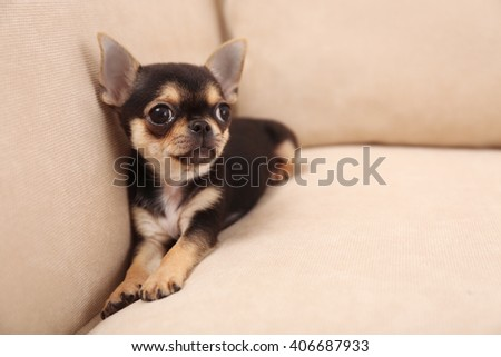Small chihuahua puppy on the beige sofa - stock photo