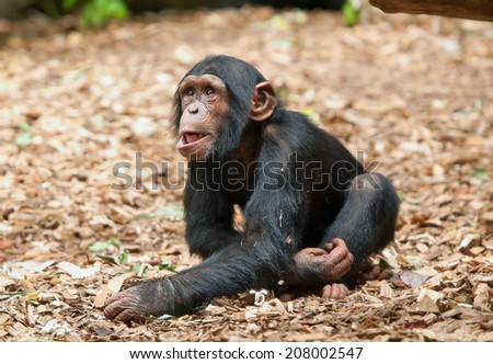 small chimpanzee in the zoo - stock photo