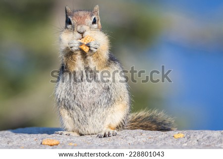 small chipmunk holding and eating a cracker in crater lake national park - stock photo