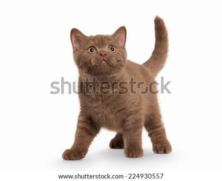 small cinnamon british kitten on white background - stock photo