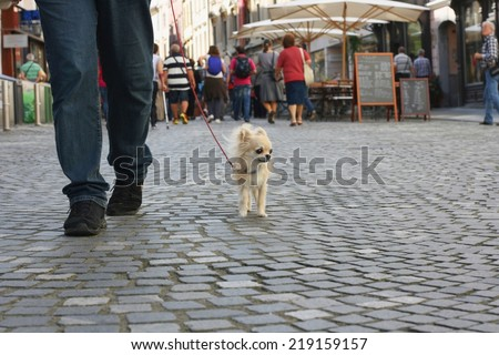 Small city dog, chihuahua, walking in a busy pedestrian city center - stock photo