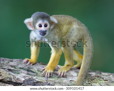 Small common squirrel monkeys (Saimiri sciureus), selective focus - stock photo