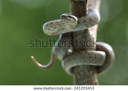 small Coronella girondica or colubro Riccioli. Southern Europe, North Africa, Habitat temperate forests, - stock photo