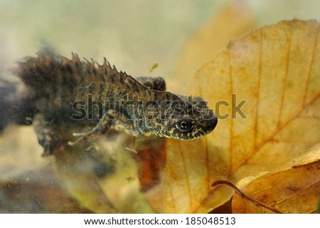 Small crested newt  in water, endangered and protected species (Triturus vulgaris) - stock photo