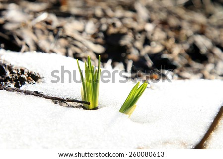 Small Crocus in country garden, early spring.  - stock photo