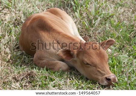 Small cute calf sleeping on the green meadow. Newborn baby cow. - stock photo