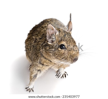 small cute curious rodent full-size front top view isolated on white background - stock photo