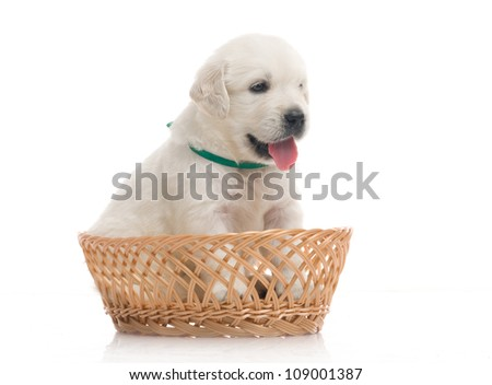small cute golden retriever puppy in a basket,  on white background - stock photo