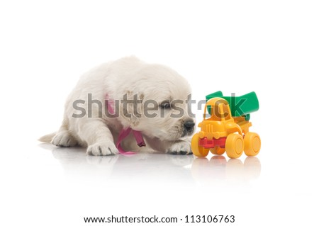 small cute golden retriever puppy with toy,  on white background - stock photo