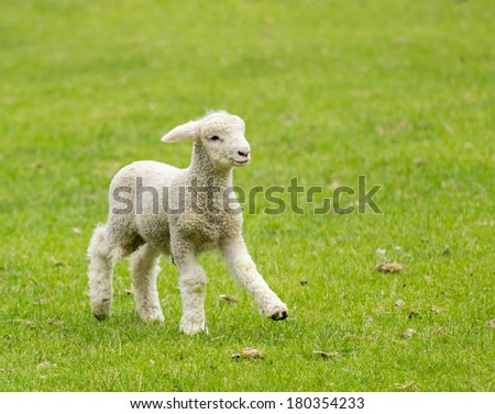 Small cute lamb gambolling in a meadow in New Zealand farm - stock photo