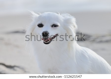 Small cute white chihuahua dog  on the beach - stock photo