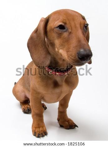 Small dachshund dog on a white background - stock photo