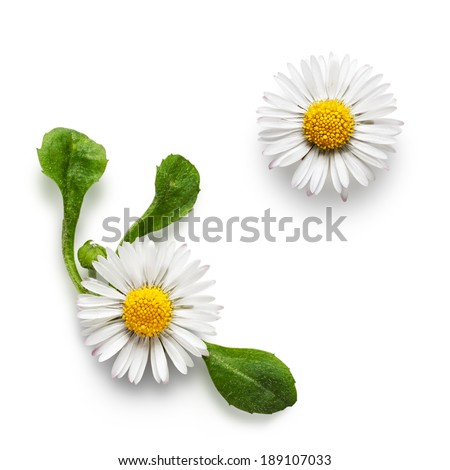 Small daisy bellis perennis flowers collection isolated on white background - stock photo