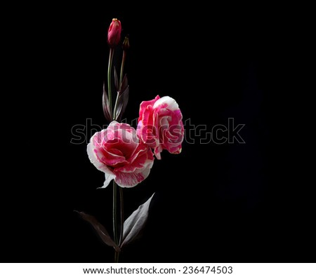 Small delicate flower white pink rose on a dark background, selective focus and space for text - stock photo