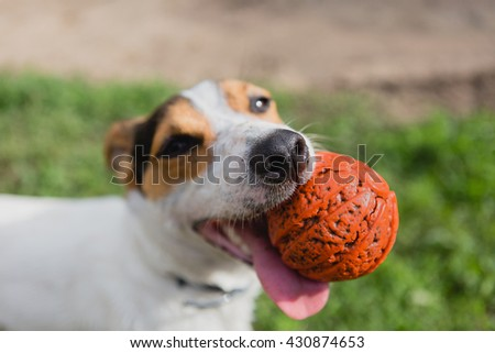 small dog breeds Jack Russell Terrier with a bright orange ball in his mouth and his tongue hanging out looking at the camera - stock photo